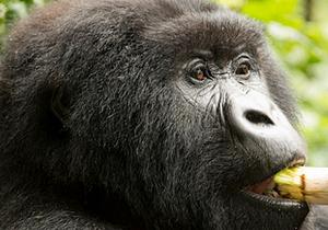 congo gorillas