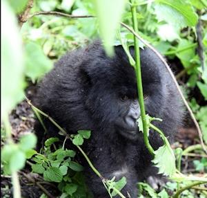 mountain gorilla of rwanda