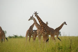 safari in uganda 15 days