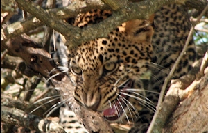 leopard animal uganda