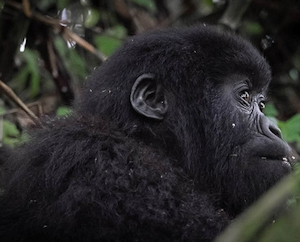 a young gorilla on trek