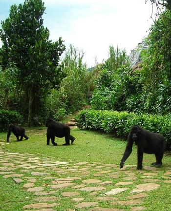 Gorillas near the Bwindi Lodge