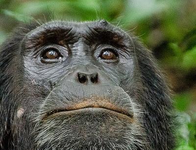 kibale chimpanzee trip