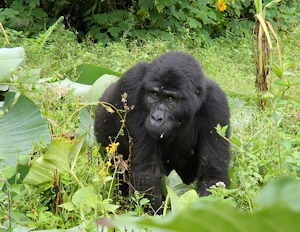 3 days gorilla trekking safari in Uganda