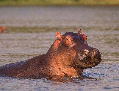 hippos wildlife