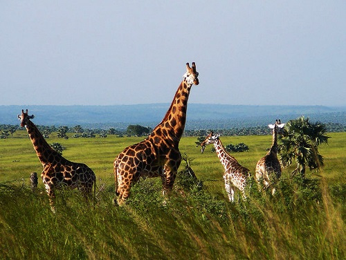Gorilla Safari Uganda, Uganda Safari Holiday, Uganda Safaris Tour, Budget Safari Uganda,