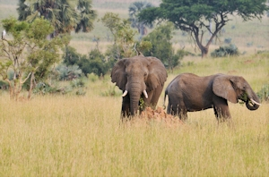 elephants wildlife herd