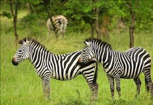 zebra in lake mburo