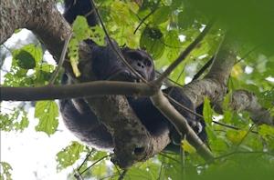 primate safari gorilla africa