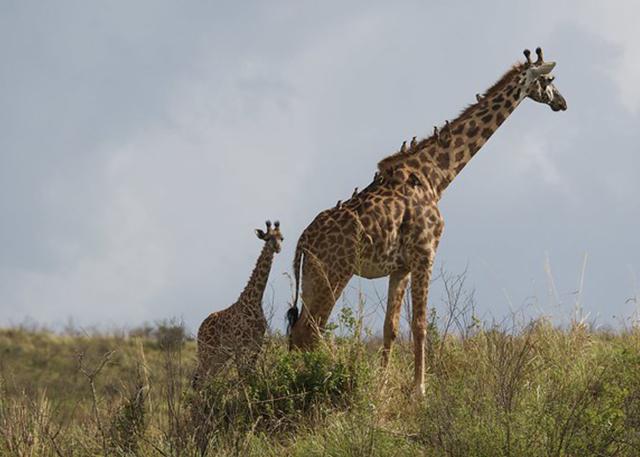 arusha-giraffe