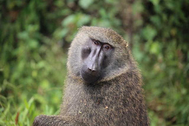 baboon uganda
