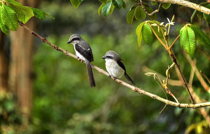 birding population uganda