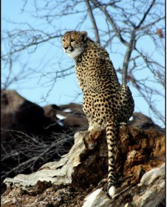 cheetahs are a lso endagered species in Tanzania