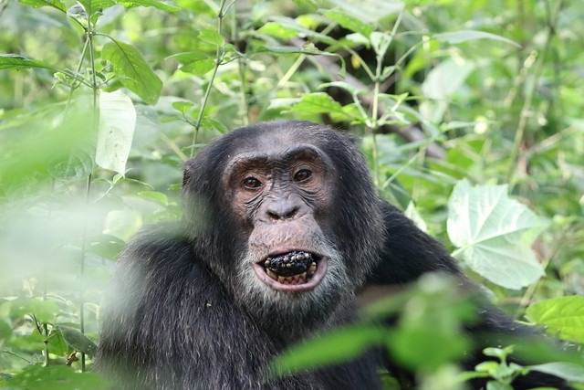 chimpanzee safaris