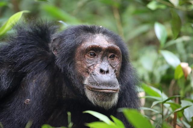 chimps-of-kibale