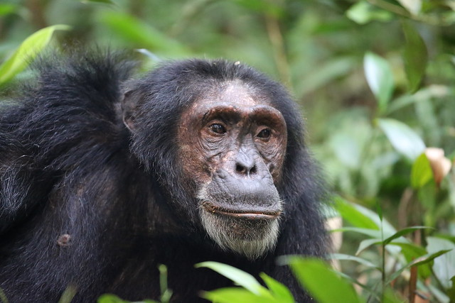 chimps of kibale