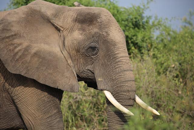 elephant safari uganda