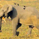 elephants of uganda