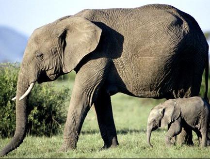 The elephant population needs to grow....