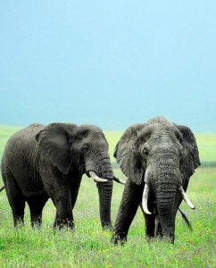For years now, elephants have been hunted and killed for ivory...