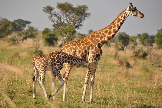 giraffe-safaris
