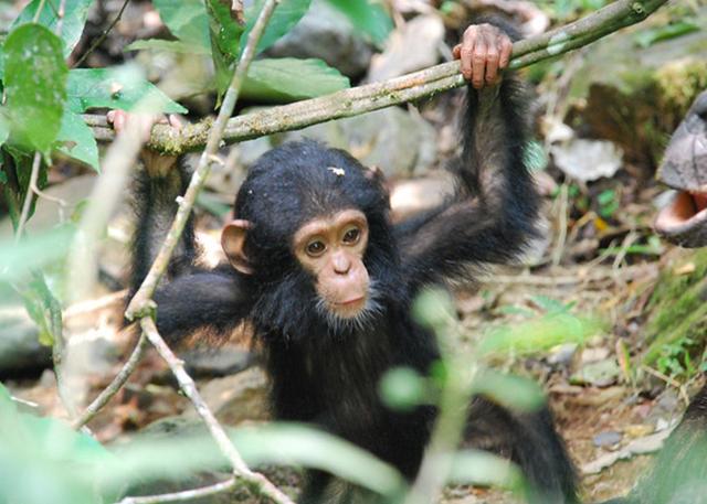 gombe-stream-chimps