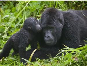 gorilla-kisses