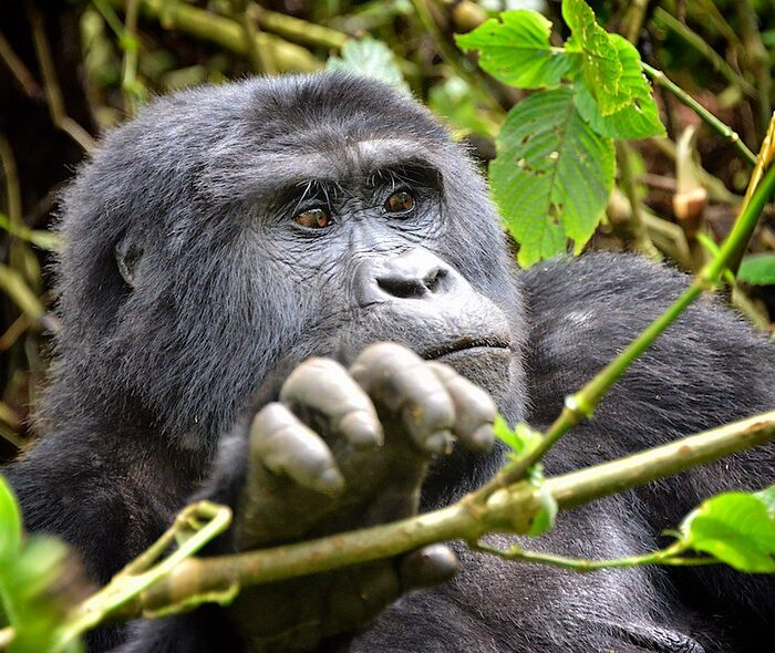 3 Day Uganda Gorilla Habituation Safari