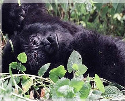 gorillar1