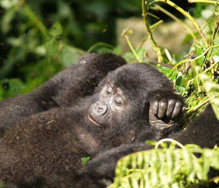 3 day Fly In Gorilla Safari  to Uganda
