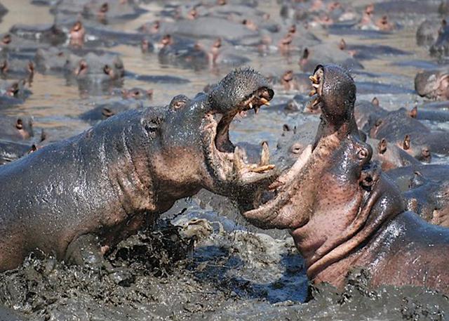 hippos-katavi