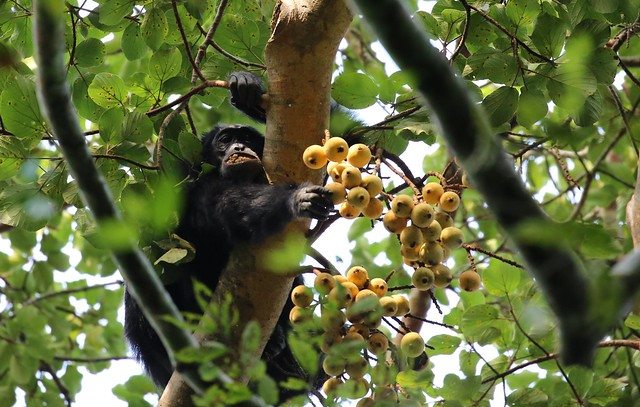 kibale-chimpanzee