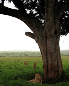 Lions resting in the savannah in Kidepo...
