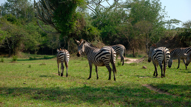 lake mburo zebra safari