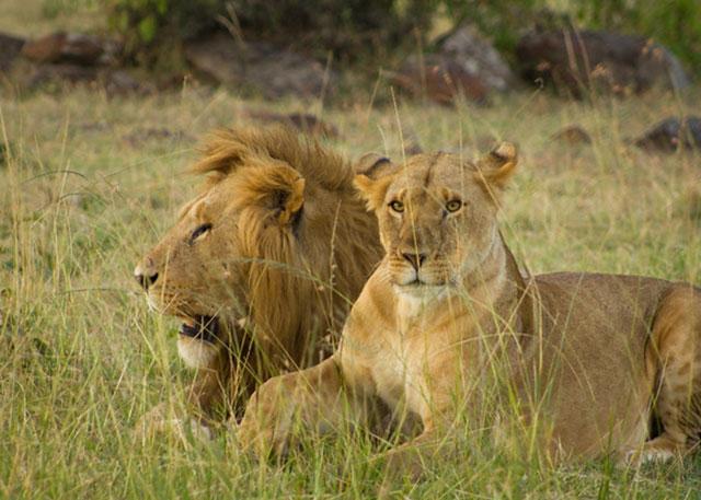 lions-masai-mara