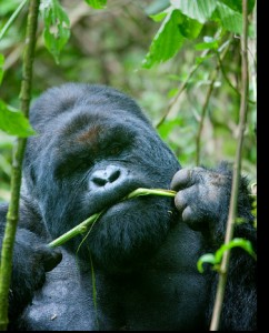 Gorillas are the most popular attraction in Mgahinga