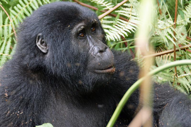 mountain gorilla safaris tours