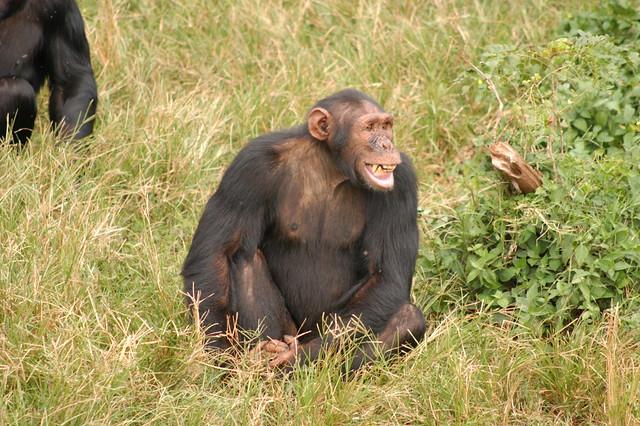 3 Days Ngamba Chimpanzee Tour
