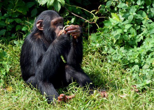 4 Days Bwindi Gorilla and Ngamba Chimps