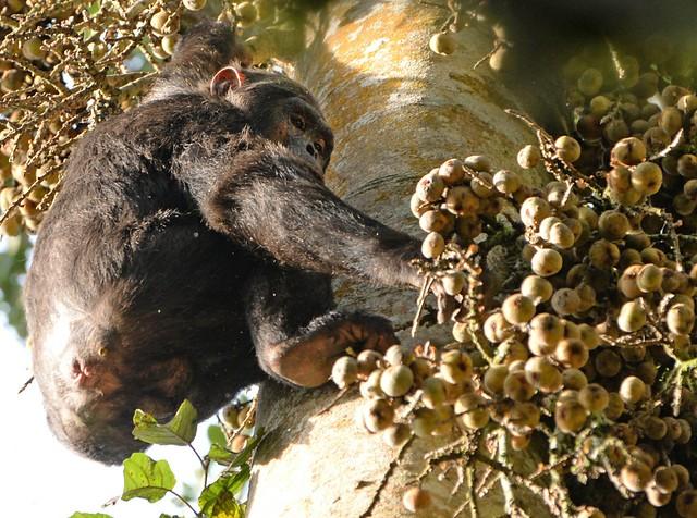 nyungwe chimpanzee