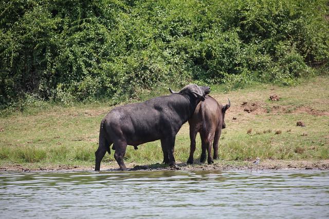 3 day Queen Elizabeth Uganda Safari