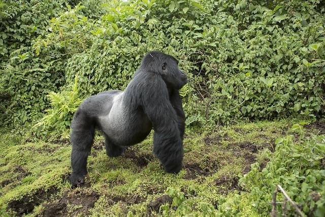 2 Days Gorilla Tracking Rwanda