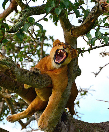 Tree climbing lions in Ishasha...