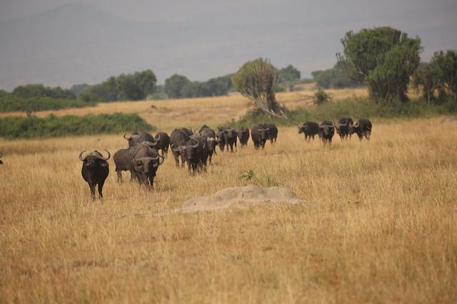 uganda buffaloes