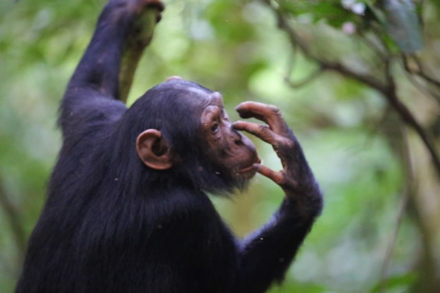 1 Day Chimpanzee Trekking safari in Uganda to Budongo Forest