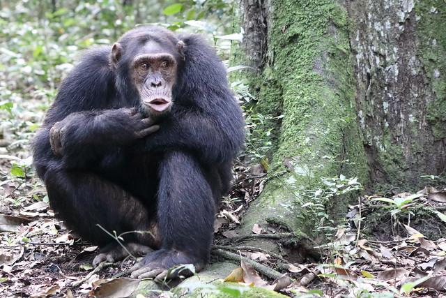 uganda chimpanzee kibale