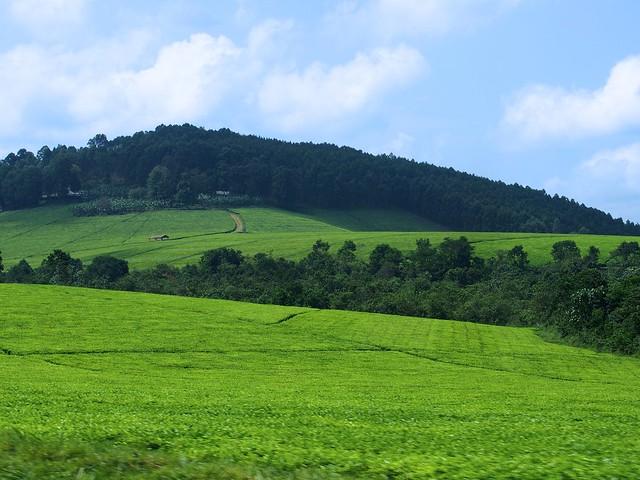 uganda tea farm africa