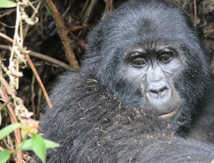 4 Days Gorilla Tracking Uganda & Gorilla Habituation