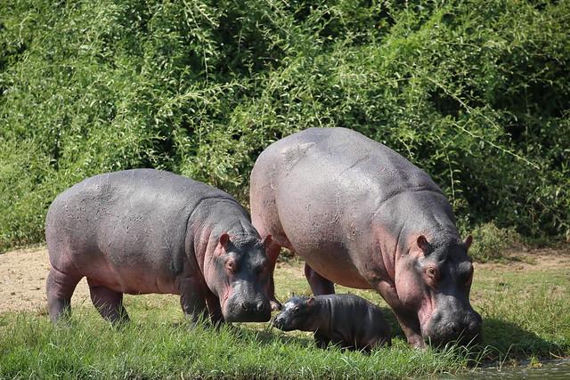 uganda hippos