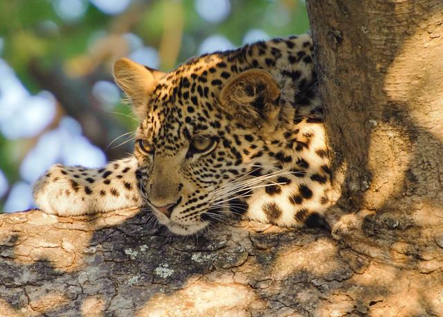 uganda leopard